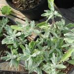carlynorama | Tree of Life Nursery / California Native Plants: Kill