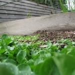 Feral Lettuce